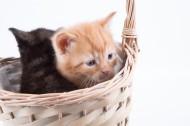 竹篮里的猫咪图片(12张)