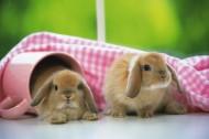 迷你垂耳兔图片(8张)