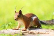 灵巧可爱的小松鼠图片(13张)