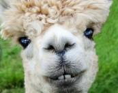 性情温驯的羊驼图片(15张)