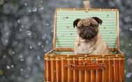 顽皮可爱的巴哥犬图片(20张)