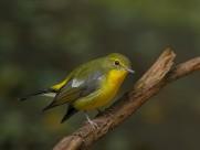 绿背山雀鸟类图片(12张)