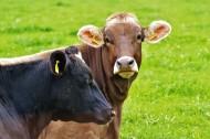 牧场里的奶牛图片(11张)