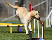 米白色拉布拉多犬图片(10张)
