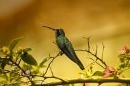 小巧玲珑的蜂鸟图片(10张)