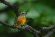 白喉矶鸫鸟类图片(8张)