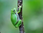 绿色树蛙图片(6张)