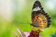 植物上蝴蝶图片(8张)