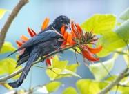 黑卷尾鸟类图片(8张)