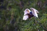 池鹭图片(6张)