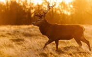 野生动物麋鹿图片(6张)