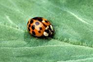 瓢虫图片(9张)
