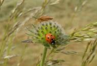 小巧的七星瓢虫图片(13张)