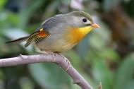 红嘴相思鸟图片(11张)