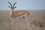 羚羊高清图片(15张)