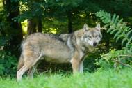 凶残的狼图片(11张)