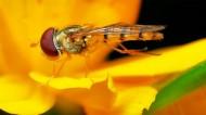 细扁食蚜蝇昆虫图片(7张)