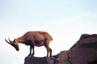 羚羊图片(11张)