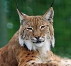 外貌似猫的猞猁图片(15张)