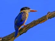 蓝翡翠鸟类图片(12张)