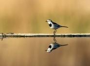 照镜子的白鹡鸰鸟类图片(12张)