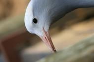 蓝鹤鸟类图片(11张)