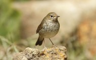 红尾歌鸲鸟类图片(20张)