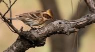 黄喉鹀鸟类图片(13张)