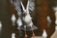 红嘴鸥图片(9张)