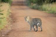 敏捷的豹子图片(9张)