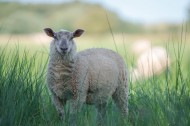 绵羊图片(12张)