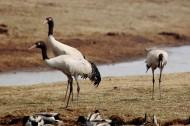 黑颈鹤图片(11张)