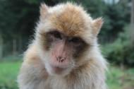 濒临灭绝的地中海猕猴图片(15张)