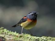 栗背林鸲鸟类图片(8张)