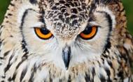 猫头鹰图片(21张)