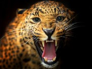 矫健的花豹图片(19张)