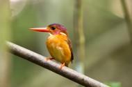 三趾翠鸟图片(12张)