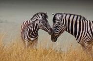 草地上的斑马图片(15张)