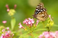 停歇在花朵上的蝴蝶图片(17张)