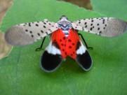 花姑娘斑衣蜡蝉图片(9张)