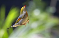 相思鸟图片(6张)