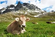 牧场上奶牛图片(8张)