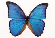 百种蝴蝶标本图片(200张)