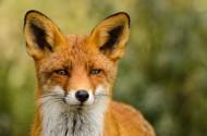 狐狸特写图片(12张)