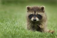 呆萌可爱的小浣熊图片(10张)