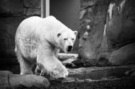 可爱的北极熊图片(7张)