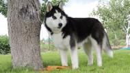 西伯利亚雪橇犬图片(12张)
