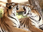 老虎图片(30张)