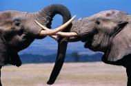 打架的大象图片(4张)