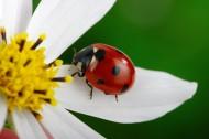 植物上的七星瓢虫图片(12张)
